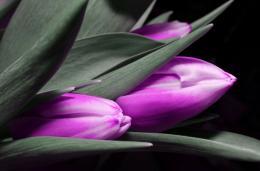 InSmile ® Obraz - fialové tulipány Velikost  60x40 cm