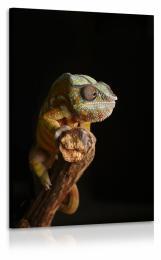 InSmile ® Obraz chameleon II.